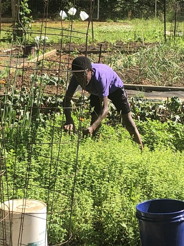 Boy harvesting fresh mint