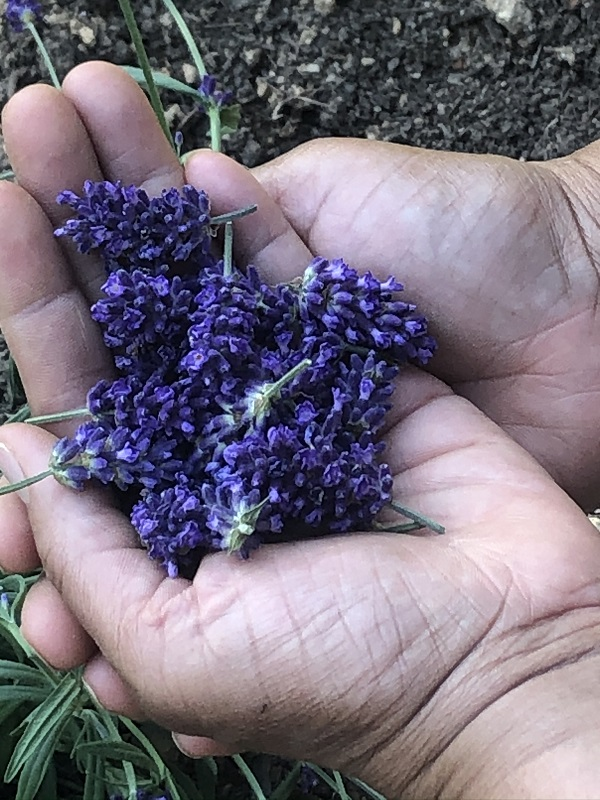 Hands filled with lavender buds