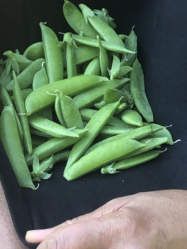 fresh sweet peas from garden